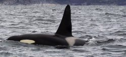 Dorsal fin and saddle patch of an orca.